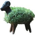 Cress Growing Sheep